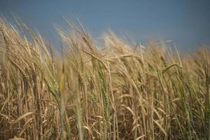 carta da parati di grano di campo di segale foto