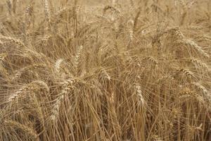 campo di segale campo di grano con la carta da parati del sole foto