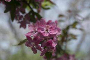 carta da parati con fiori di sakura foto