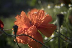 carta da parati papaveri scarlatti foto