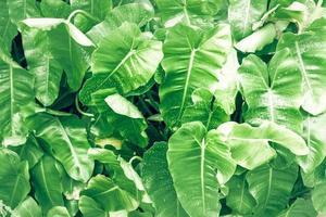 foglia di filodendro grande fogliame verde foto