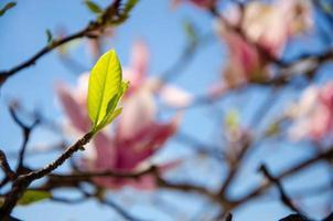 magnolia in fiore in fiori primaverili su un albero contro un cielo blu brillante foto