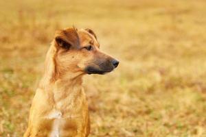 cucciolo marrone triste che guarda di lato foto