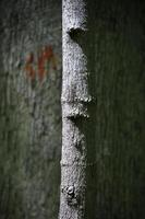 piccolo albero davanti a un grande albero con graffiti nel bosco foto