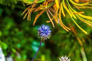 fiore di cardo blu foto