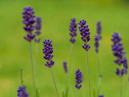 primo piano di graziosi fiori di lavanda varietà hidcote blue foto