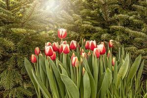 tulipani rossi su un letto di fiori in giardino. primavera. fioritura.tramonto foto