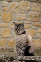 gatto grasso di casa in strada foto