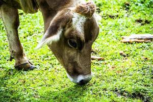 mucca che mangia erba foto