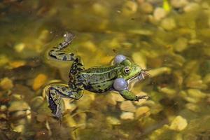 rana su uno stagno locale in primavera foto