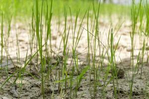 pianta di riso piantagione di risaie fattoria una fattoria di riso biologico e agricoltura giovane piantina che coltiva l'agricoltura del riso nel paese asiatico thailandia foto
