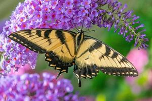 Farfalla gialla a coda di rondine appollaiata sul fiore viola del cespuglio di farfalle foto
