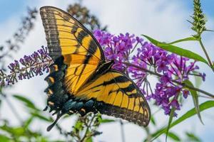 farfalla gialla a coda di rondine appollaiata sul fiore viola del cespuglio di farfalle butterfly foto