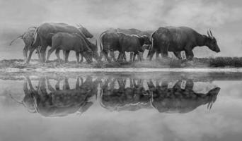 bufalo mandria di bufali di prato chiaro dorato foto