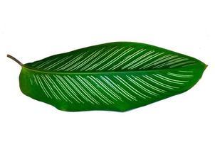foglie calathea ornata gessato sfondo bianco isolare foto