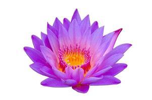 loto viola isolare loto splendidamente fiorito nel polline giallo foto