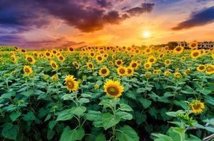 girasoli in piena fioritura e luce al mattino. foto