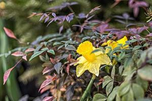 narciso giallo in giardino. primavera. fiori che sbocciano. foto