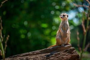meerkat sul log foto
