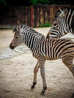 zebra nello zoo foto