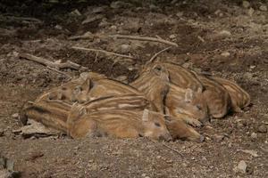 porcellini selvatici foto