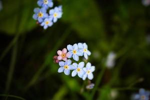 Non ti scordar di me, piccoli fiori blu con un rosa che spicca su uno sfondo sfocato scuro foto
