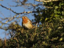 Robin europeo erithacus rubecula in un albero di tasso foto