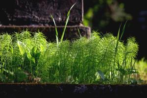 erbaccia di equiseto di campo verde vicino alla pietra tombale foto