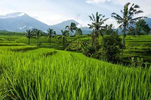 le terrazze di riso tegallalang a bali in indonesia foto