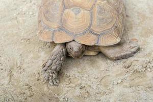 tartaruga gigante di aldabra foto