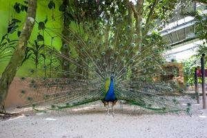 un pavone mostra le sue piume foto
