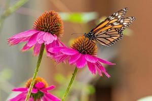 farfalla monarca arancione appollaiata su fiordalisi viola in giardino in foto