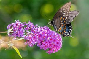 farfalla a coda di rondine nera appollaiata sul fiore viola del cespuglio di farfalle foto