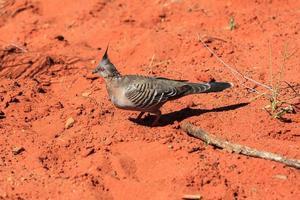 piccione crestato ocyphaps lophotes territorio settentrionale australia foto