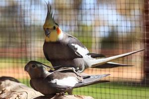 cockatiel.nymphicus hollandicus territorio settentrionale australia foto