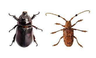 insetto scarabeo isolato su priorità bassa bianca. foto