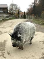 un grosso maiale nero cammina per la strada del villaggio foto