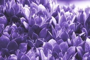 sfondo astratto ultravioletto - primo piano di sempervivum calcareum-houseleek, dipinto in ultra violet color foto
