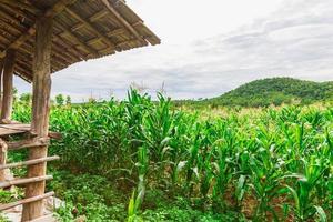 campo di mais verde nell'orto agricolo foto