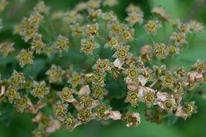 sorbo nero in fiore foto