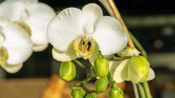 bianco di un'orchidea phalaenopsis con diversi boccioli su un ramo foto