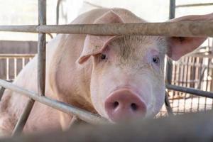 il primo piano del maiale allevatore nella fattoria sta aspettando il fuoco selettivo del cibo soft focus foto