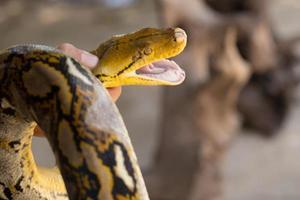 mano che tiene la palla a mano serpente pitone foto