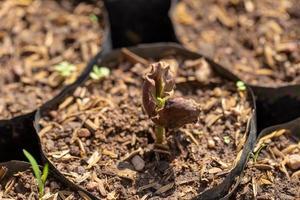 gli alberi di cacao stanno crescendo nuovi nella fattoria foto