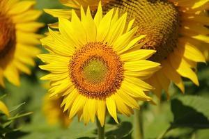 giovane fresco bellissimo girasole giallo brillante foto