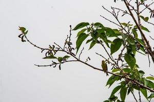 uccello verdone in cerca di cibo foto
