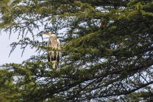 airone cenerino appollaiato su un pino in città foto