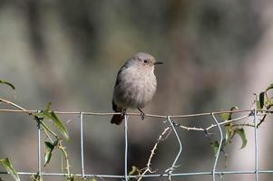 un uccello codirosso appollaiato su un tronco foto