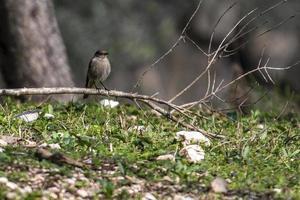 uccello codirosso appollaiato sulla vegetazione foto