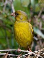 uccello Verdone posto su legno foto